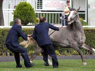 Yarış Atı Müzayedesinde Zor Anlar