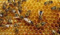 """Arılar Sanılandan """"Karmaşık"""" Çıktı"""