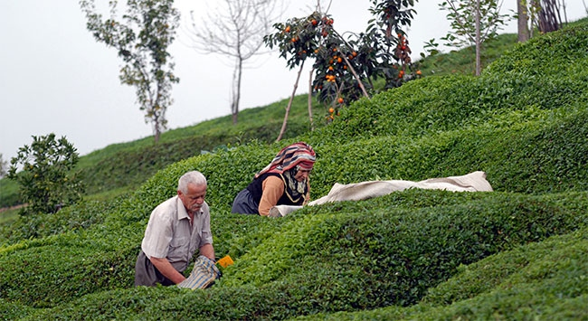 Yaş çay alım fiyatı