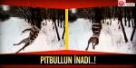 Pitbullun inadı..!