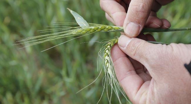 Eskiyle modernin buluşması: Süper buğday