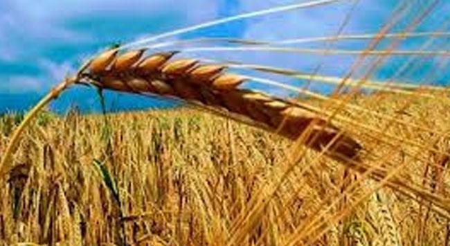 GDOlu buğday skandalı büyüyor