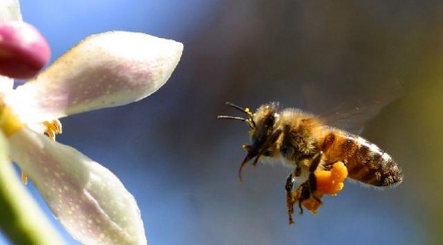 Arı sokması orucu bozar mı?