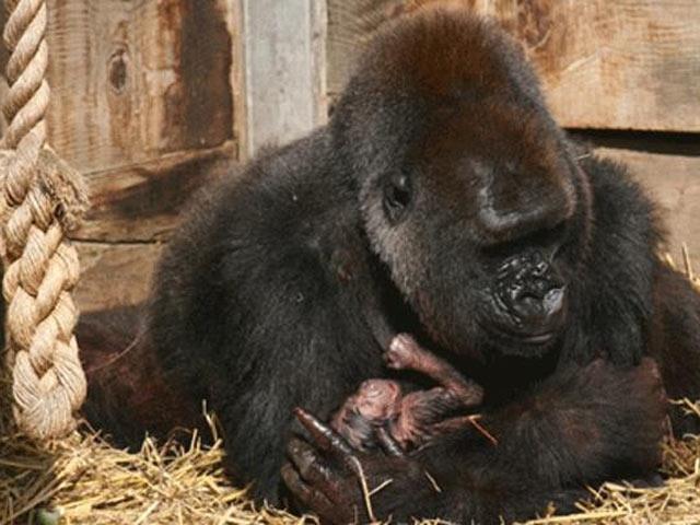 Gorilin Ana Şefkati Görenleri Şaşırtıyor