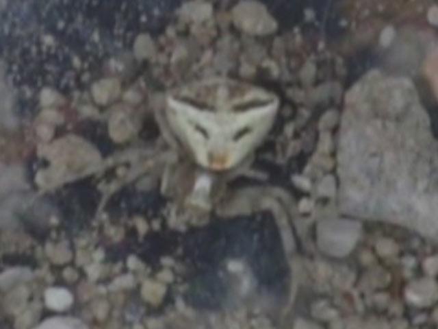 İnsan Yüzlü Örümcek!