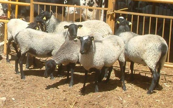6 dakikada 19 koyun çaldılar!