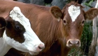 Canlı Sığır İthalatında Vergi İndirimi