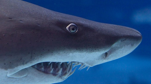 Akvaryuma konulan beyaz köpek balığı öldü