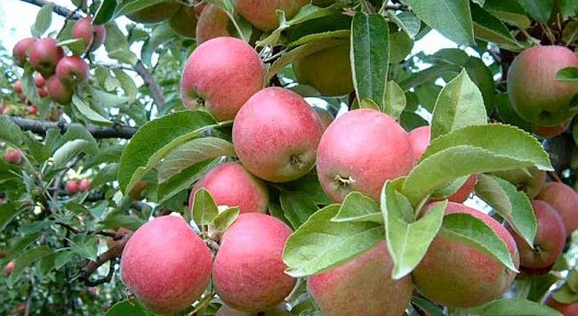 Elma ağacı vakitsiz çiçek açtı