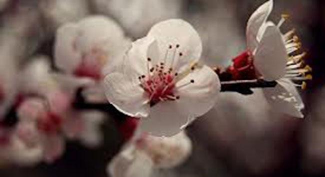 Meyve ağaçları mevsimi şaşırdı