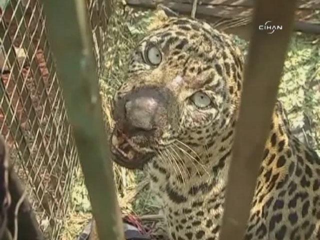 Hindistan Köylülerinin Korkulu Rüyası Leopar Yakalandı