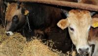 Canlı hayvan ithalatında gümrük vergisi sıfırlandı