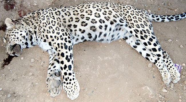 Diyarbakırda öldürülen leopar İran Parsı çıktı