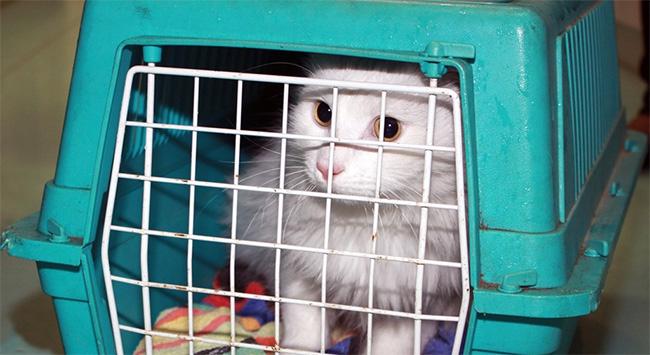 Hollandada 2 yıl önce kaybolan kedi Belçikada ortaya çıktı
