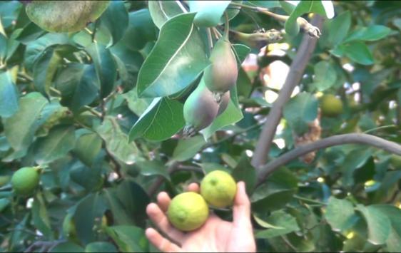 Ağaçların aralıkta meyve vermesi şaşırttı