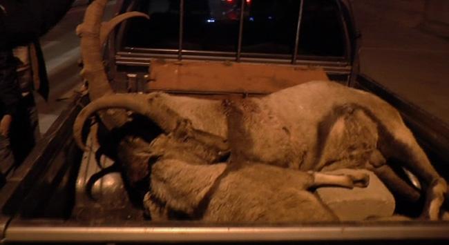 Kaçak avcılar, iki dağ keçisini katletti