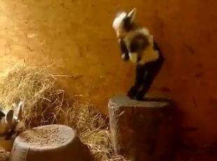 Yavru Keçinin Dansı