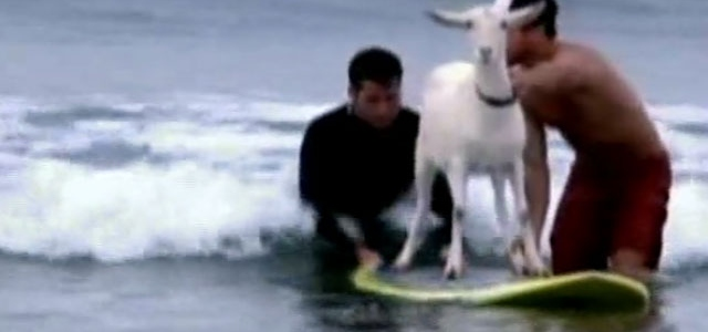 Keçinin Sörf Keyfi