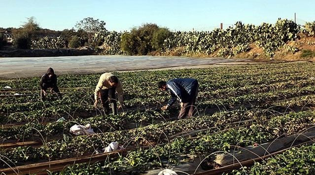 Gazzeli çiftçilerin büyük gayreti