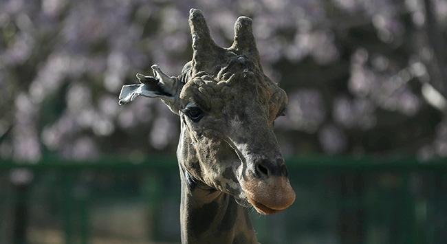 Zürafa 'Şakir', eşini bekliyor