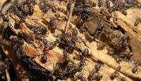 Kırmızı karıncalar taşınıyor