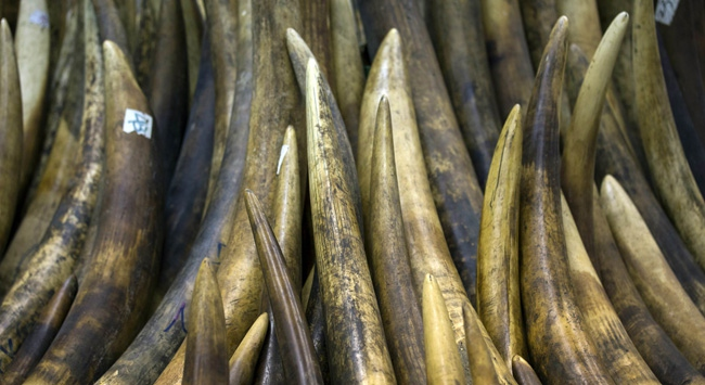 Çin fil dişi ithalatını yasakladı