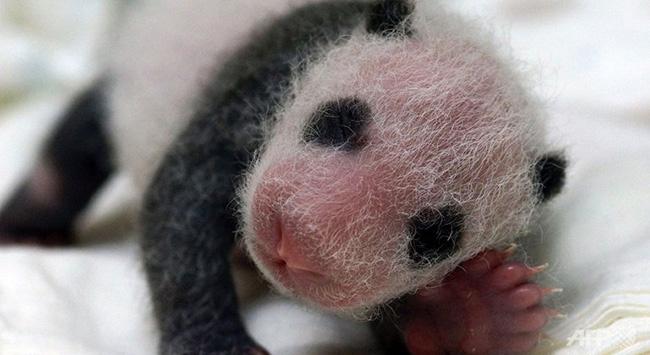 Çinli panda Fransada ikiz doğurdu