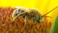 Arıları Tarım İlaçları mı Öldürüyor?