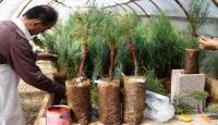 Tohum bahçeleri için 37 bin fidan toprakla buluşacak