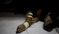 Evde İçilen Sigara İki Köpeği Kanser Etti