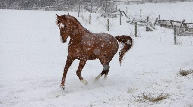 """Atlara """"Kar Nalı"""" takıldı"""