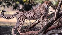 Vahşi hayvan sayısı hızla azalıyor