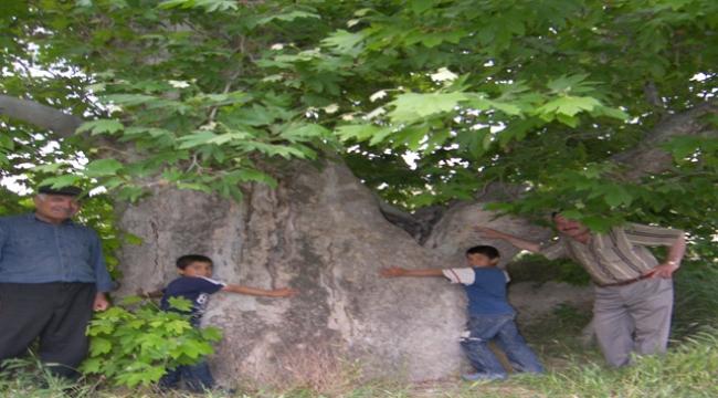 Asırlık ceviz ağaçları zamana meydan okuyor