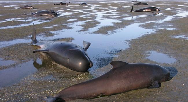 Karaya vuran 36 balina öldü