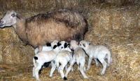 Bir Koyun 7 Kuzu Doğurdu
