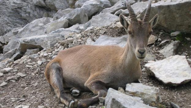 Dağ keçisi avcılarına 30 bin lira ceza