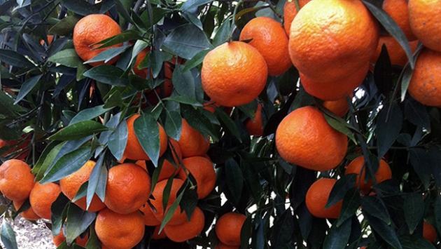 """İlk patentli mandalina """"Tango"""" tanıtıldı"""