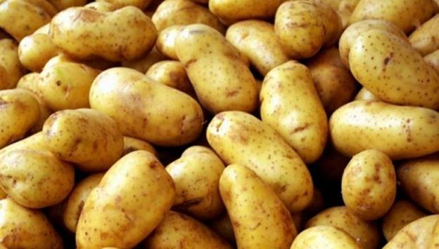 Muğlada dört mevsim patates yetiştirilecek