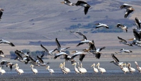 Kuşların genetik çeşitliliği belirlenecek