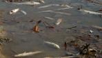 Gölcükte Toplu Balık Ölümü