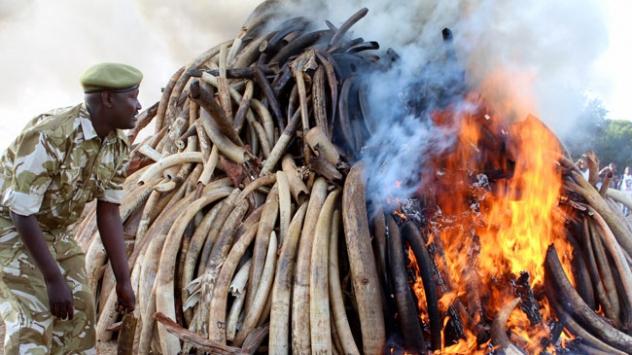 Kenyada 15 ton fil dişi yakıldı.
