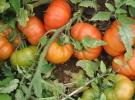 Bakanlık o eski domatesleri getirecek