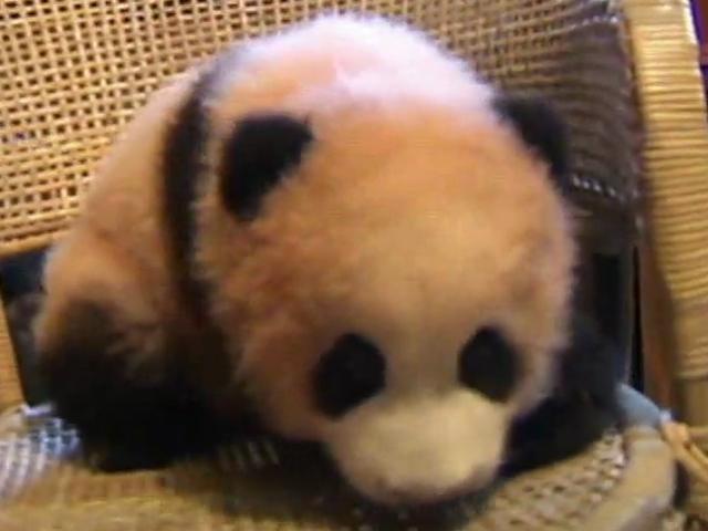 Bebek Panda Hapşırınca...