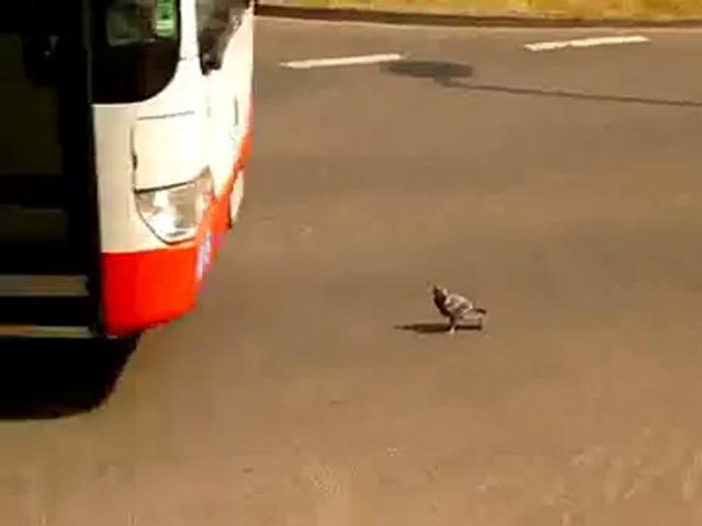 Bu Güvercinde Hiç mi Hiç Korku Yok!