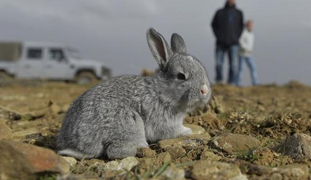 İstilacı tavşanlar doğal yaşam alanlarına bırakıldı