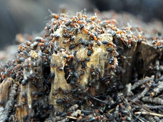 Karıncaların zorlu yolculuğu