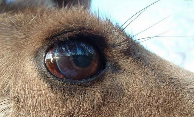 Kanguru Gözü