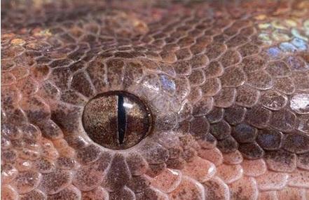 Boa Yılanı Gözü