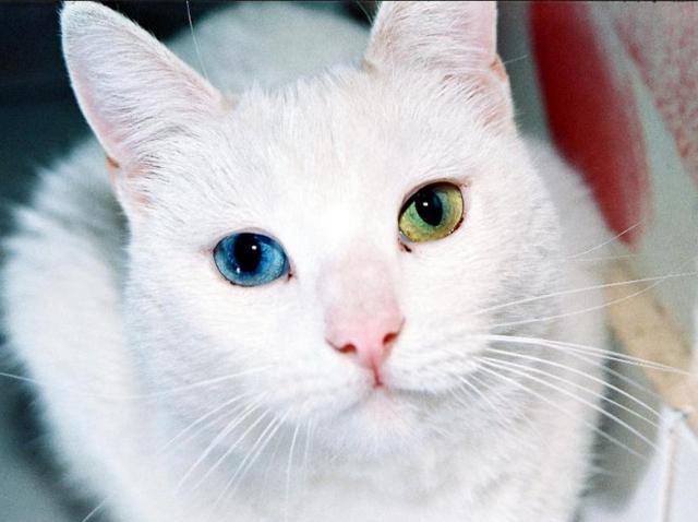 Van Kedisi Gözü
