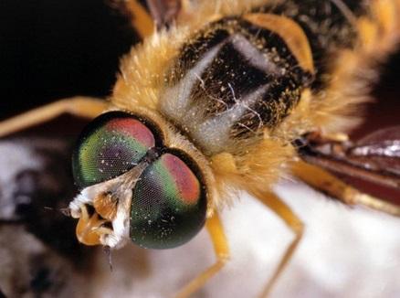 Arı Gözü